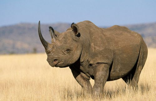 what do rhinos eat