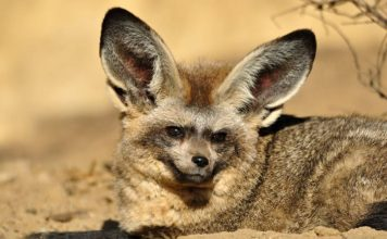 bat eared fox facts