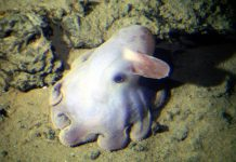 dumbo octopus facts