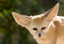 fennec fox facts