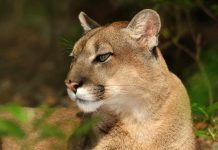 florida panther facts
