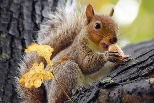 fox squirrel facts