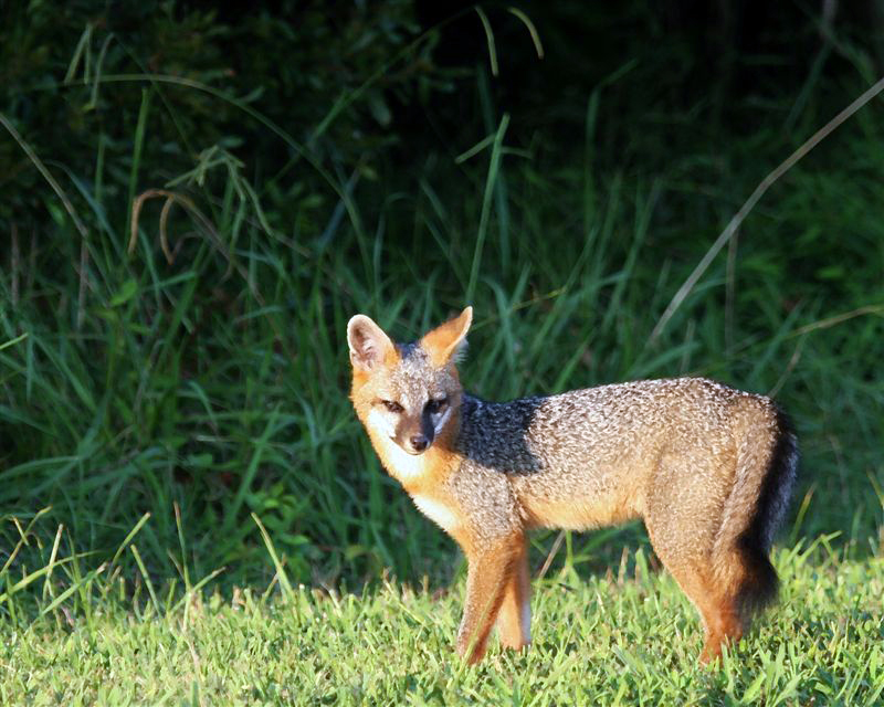 Gray fox habitat - photo#9