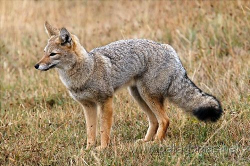 gray fox facts