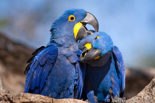 Hyacinth Macaw facts