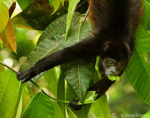 what do howler monkeys eat
