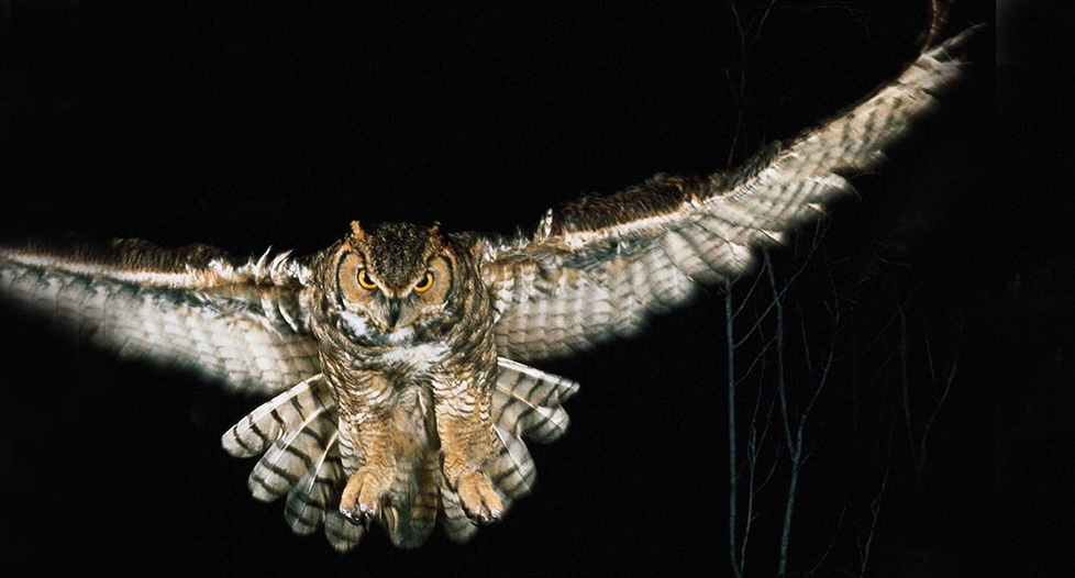 Image of: Owls Hoot Animalstimecom Facts About Nocturnal Animals From Birds To Mammals Animals Time