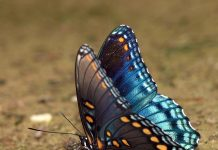 red spotted purple butterfly facts