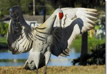 sandhill crane facts