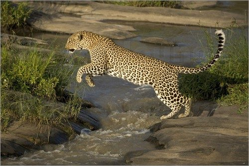 African leopard facts