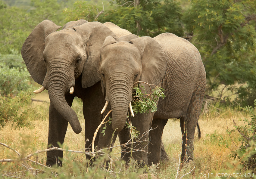African Bush Elephant Facts | Anatomy, Diet, Habitat, Behavior ...