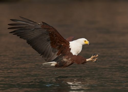 african fish eagle facts
