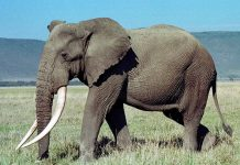 african forest elephant facts