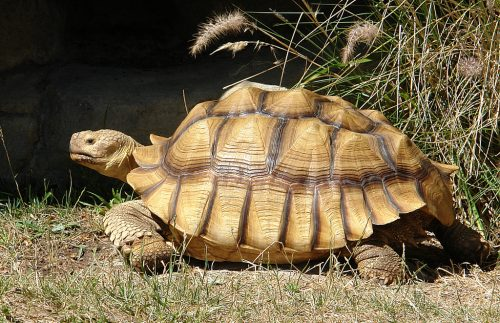 African spurred tortoise - photo#36