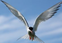 arctic tern facts