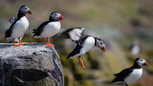 atlantic puffin facts