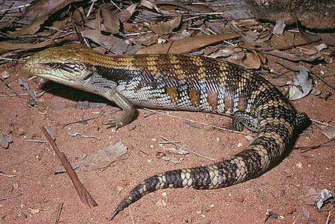 blue tongue skink facts