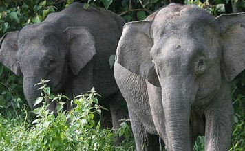 borneo pygmy elephant facts