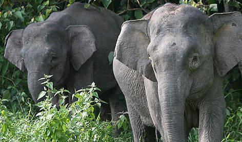 borneo pygmy elephant facts anatomy range habitat