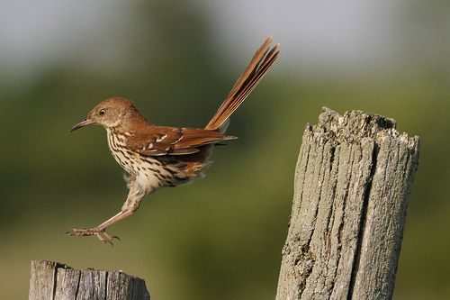 brown thrasher facts