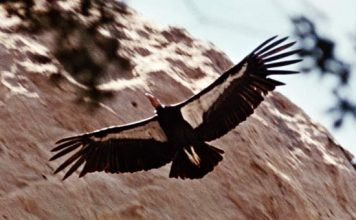 california condor facts
