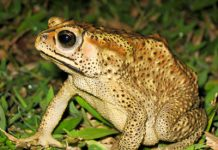 cane toad facts