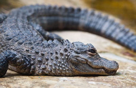 chinese alligator facts