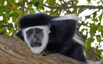 colobus monkey facts