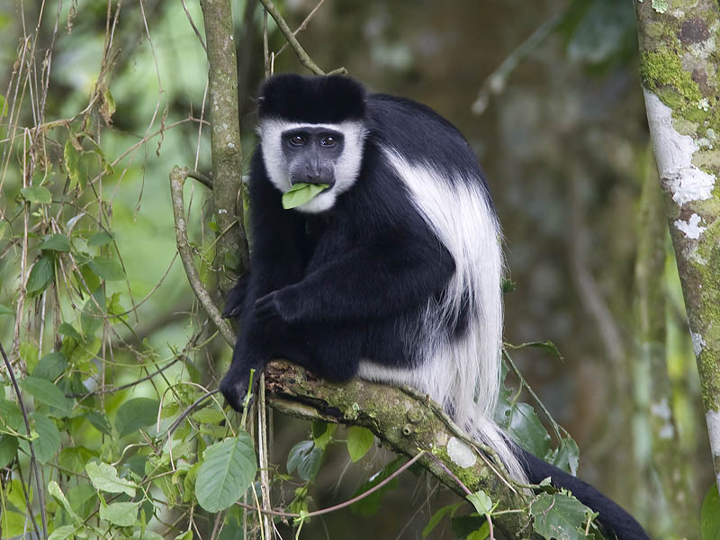 the physical and social characteristics of the african colobus monkey