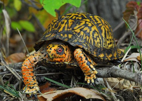eastern box turtle facts