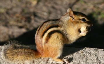 eastern chipmunk facts
