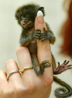 finger monkey facts