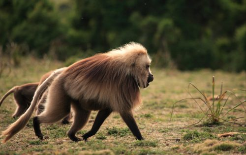 gelada baboon facts