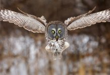 great grey owl facts