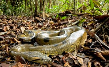 green anaconda facts