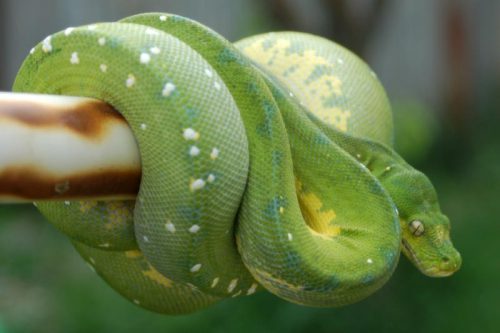 green tree python facts