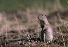 ground squirrel facts