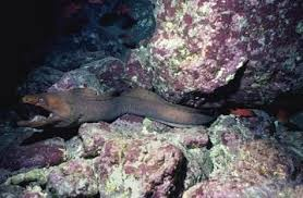 gulper eel facts