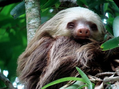 two toed sloth facts
