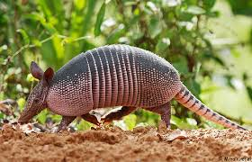 nine banded armadillo facts
