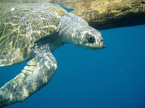 olive ridley sea turtle facts