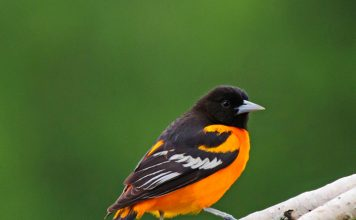 Baltimore oriole bird facts