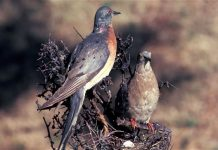 passenger pigeon facts
