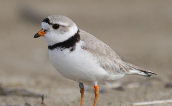 piping plover facts