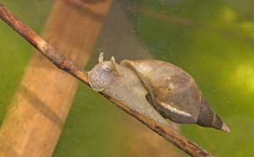 pond snail facts