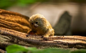 pygmy marmoset facts