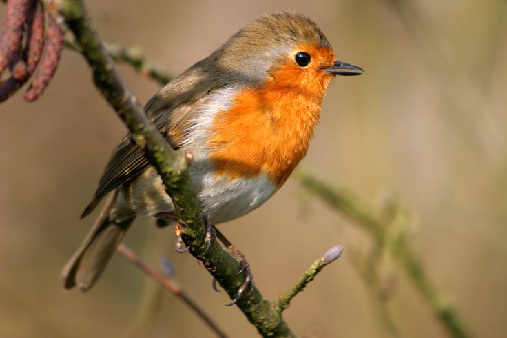 17 Best images about robins on Pinterest | Wings, So cute ... |Red Robin Bird Flying