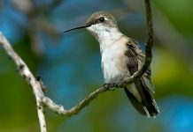 ruby throated hummingbird facts