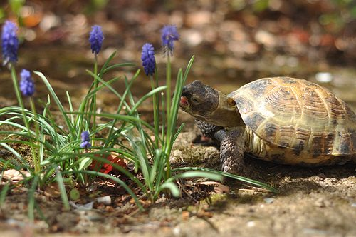 russian tortoise facts