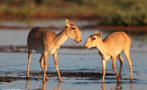 saiga antelope facts
